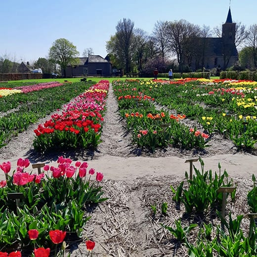 Pretty rows of tulips at Hortus Bulborum nurseries near Limmen, Holland.